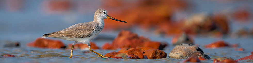 Scolopacidae: Sandpipers and Stints