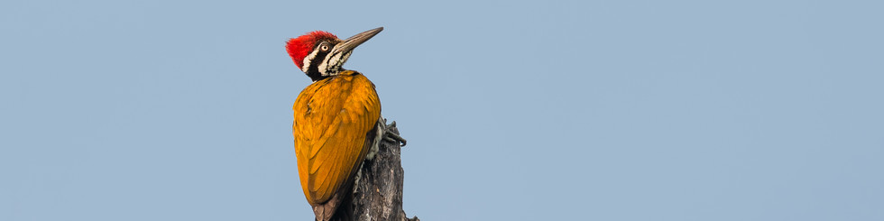 Picidae: Picus Woodpeckers and Goldenbacks