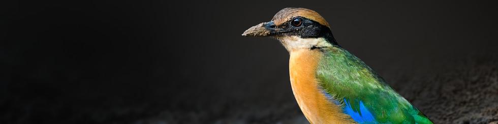 Pittidae: Pittas