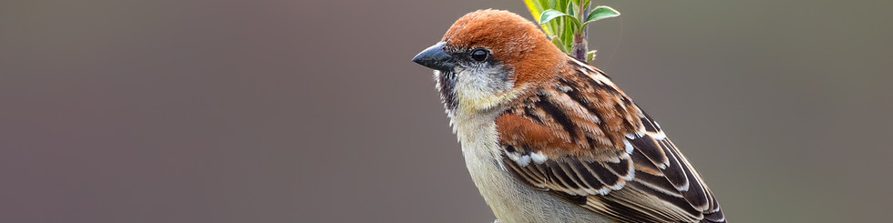 Passeridae: Sparrows and Snowfinches