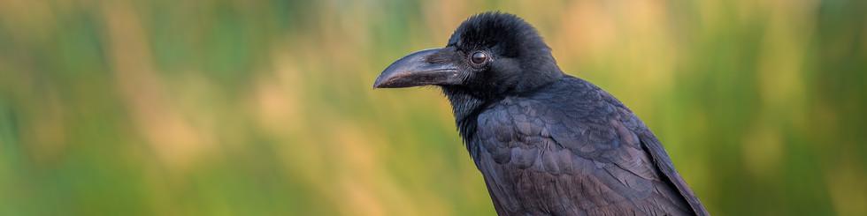 Corvidae: Treepies and Crows
