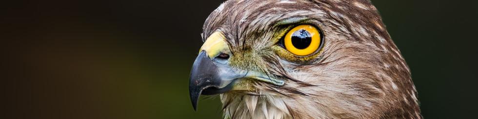 Accipitridae: Sparrowhawks, Hawks and Harriers