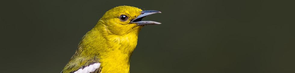 Aegithinidae: Ioras