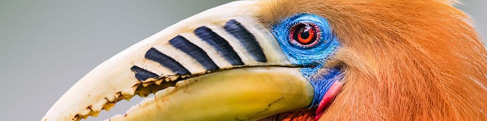 Bucerotidae: Hornbills