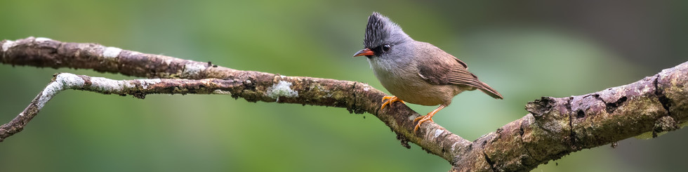 Zosteropidae: Yuhinas and White-eyes