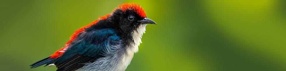 Dicaeidae: Flowerpeckers