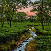 Samsing Tea Estate