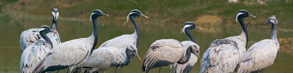 Gruidae: Cranes