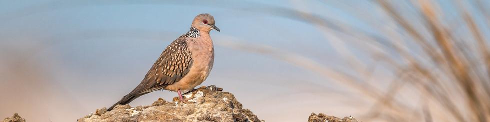 Columbidae: Doves