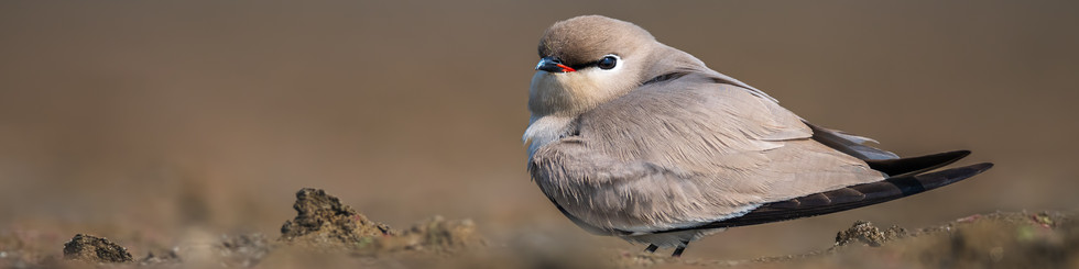 Glareolidae: Coursers and Pratincoles