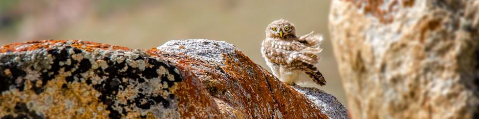 Strigidae: Hawk Owls, Owlets and Smaller Owls