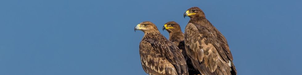 Accipitridae: Eagles and Hawk-eagles