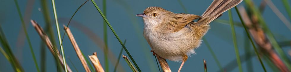 Cisticolidae: Cisticolas, Prinias and Tailorbirds