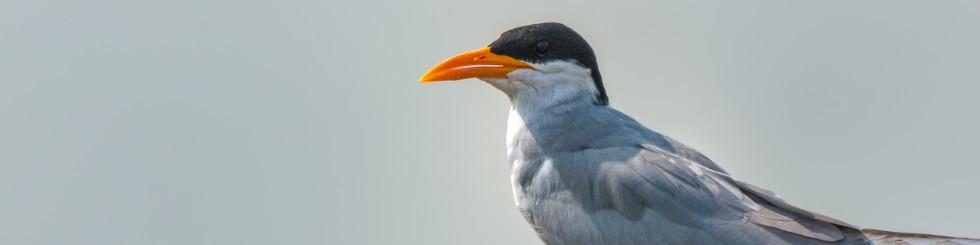 Laridae: Terns