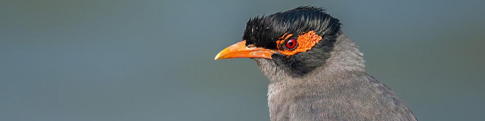 Sturnidae: Mynas and Starlings