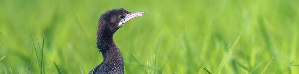 Fregatidae: Cormorants