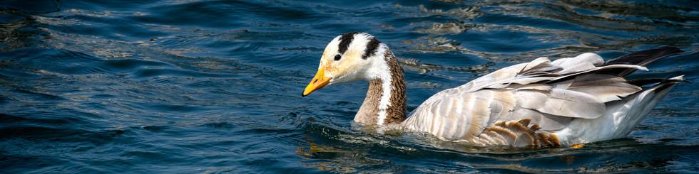 Anatidae: Geese