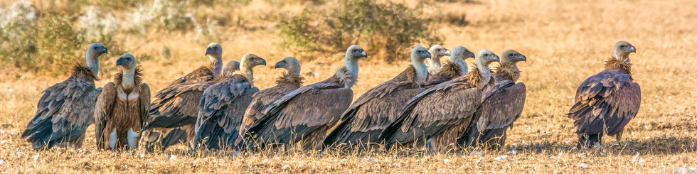 Accipitridae: Vultures and Honey Buzzards