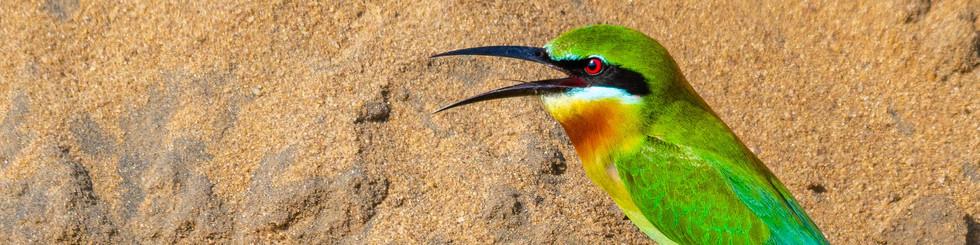 Meropidae: Bee-eaters