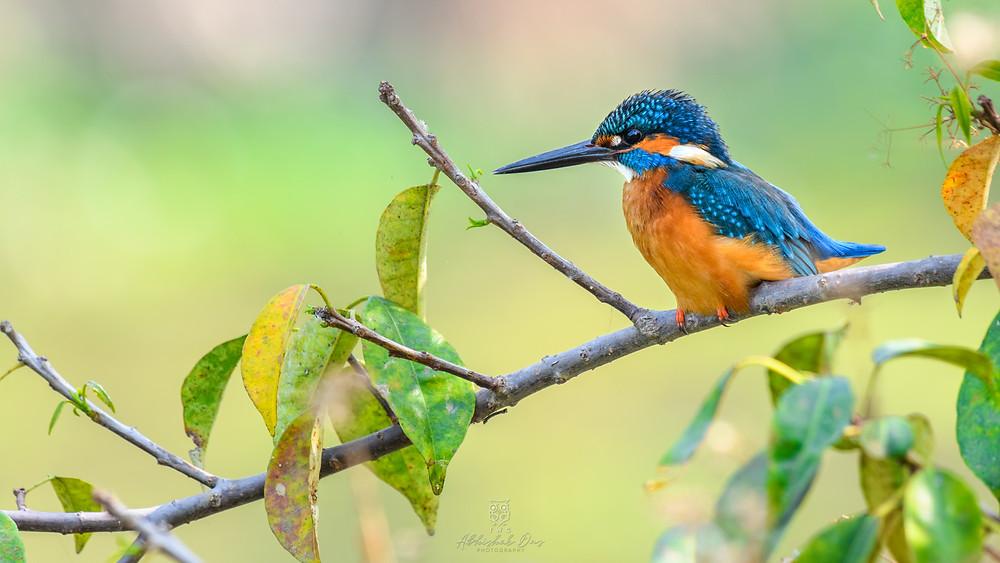 Common Kingfisher clicked by Abhishek Das on Bali Island, Sunderbans