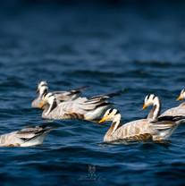 Bar-headed Goose