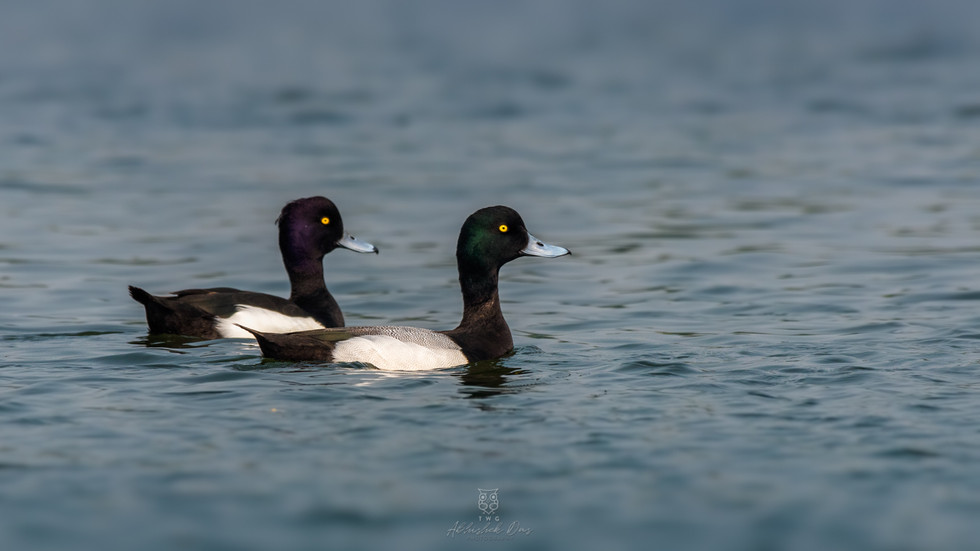 Tufted Duck | Greater Scaup
