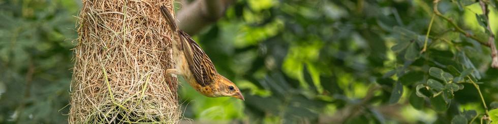 Ploceidae: Weavers