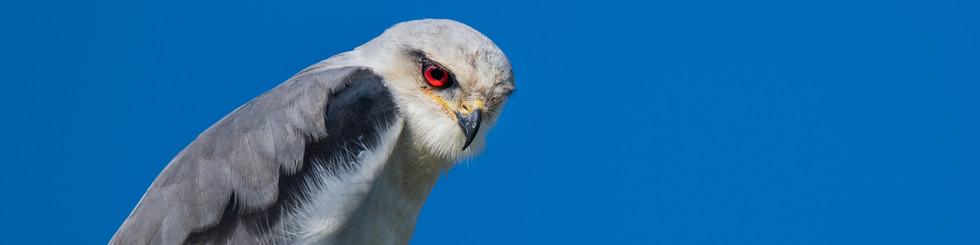 Accipitridae: Kites, Sea Eagles and Buzzards