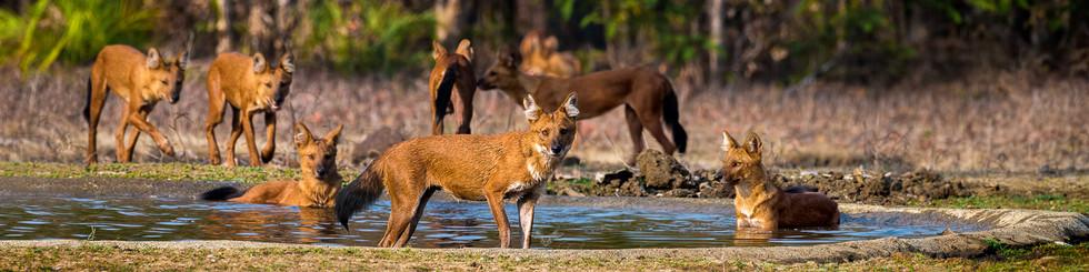 CARNIVORA : Canidae