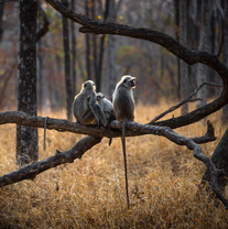 Northern plains gray langur