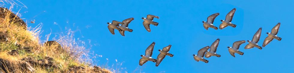 Columbidae: Pigeons