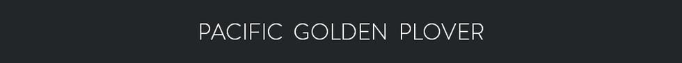 PACIFIC GOLDEN PLOVER  - Pluvialis fulva