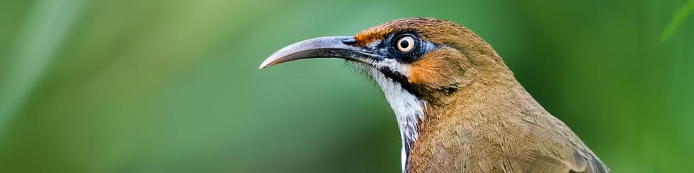 Timaliidae: Scimitar Babblers