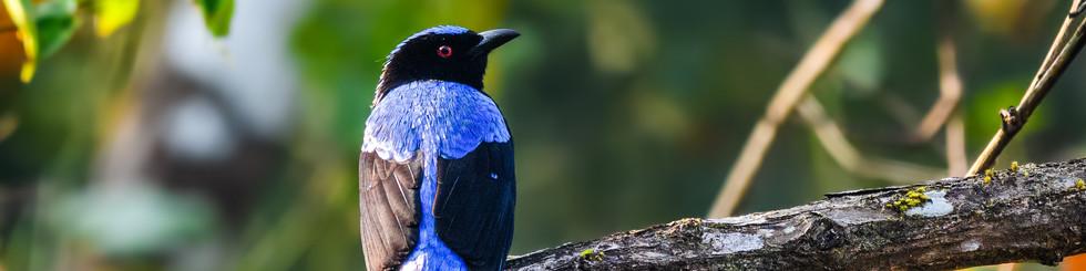 Irenidae: Fairy Bluebirds
