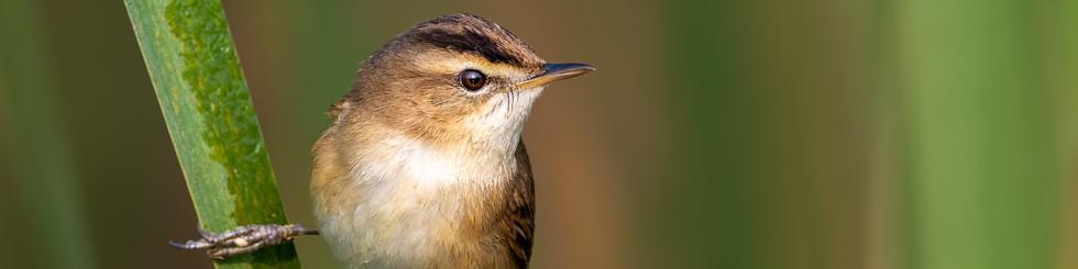Acrocephalidae: Reed Warblers
