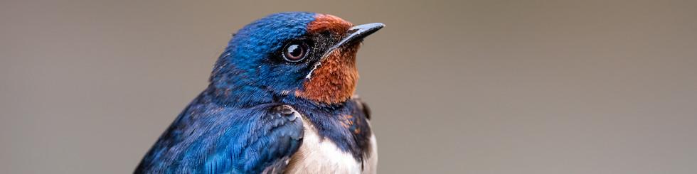 Hirundinidae: Swallows and Martins