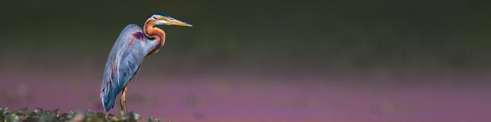 Ardeidae: Bitterns, Herons and Egrets
