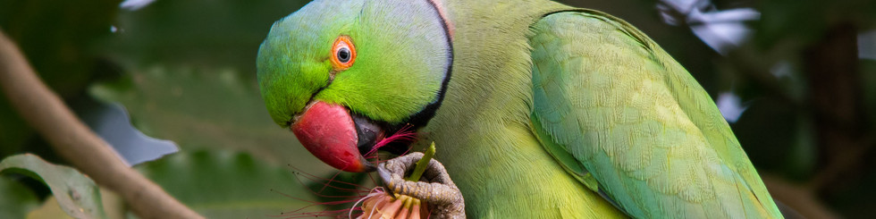 Psittaculidae: Parakeets