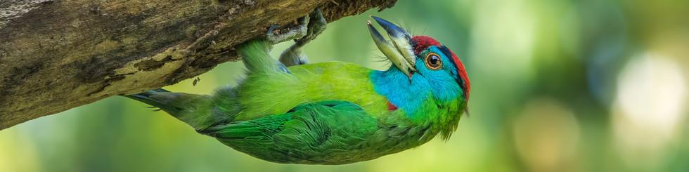 Megalaimidae: Barbets