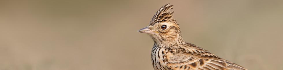 Alaudidae: Bushlarks, Skylarks and Larks