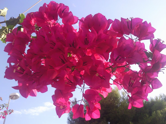 Splendid bougainvillea