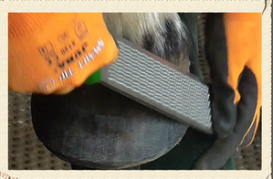 Barefoot hoof trimming in action
