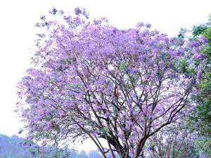 【春】藍花楹季-紫色花海