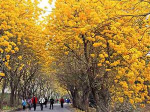 【春】又到了黃金風鈴木的季節囉!