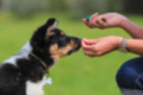 Puppy, border, collie, shepherd, dog, .j