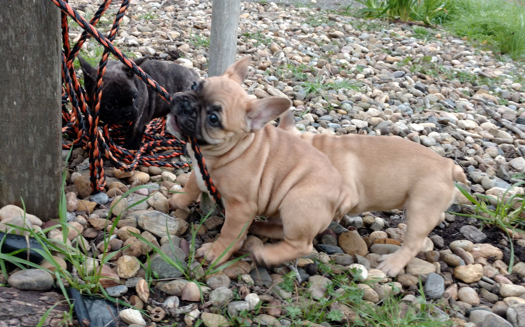 French Bulldog puppies playing tug of wa
