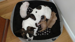 Olive and Bruno's litter of AKC French Bulldog Puppies