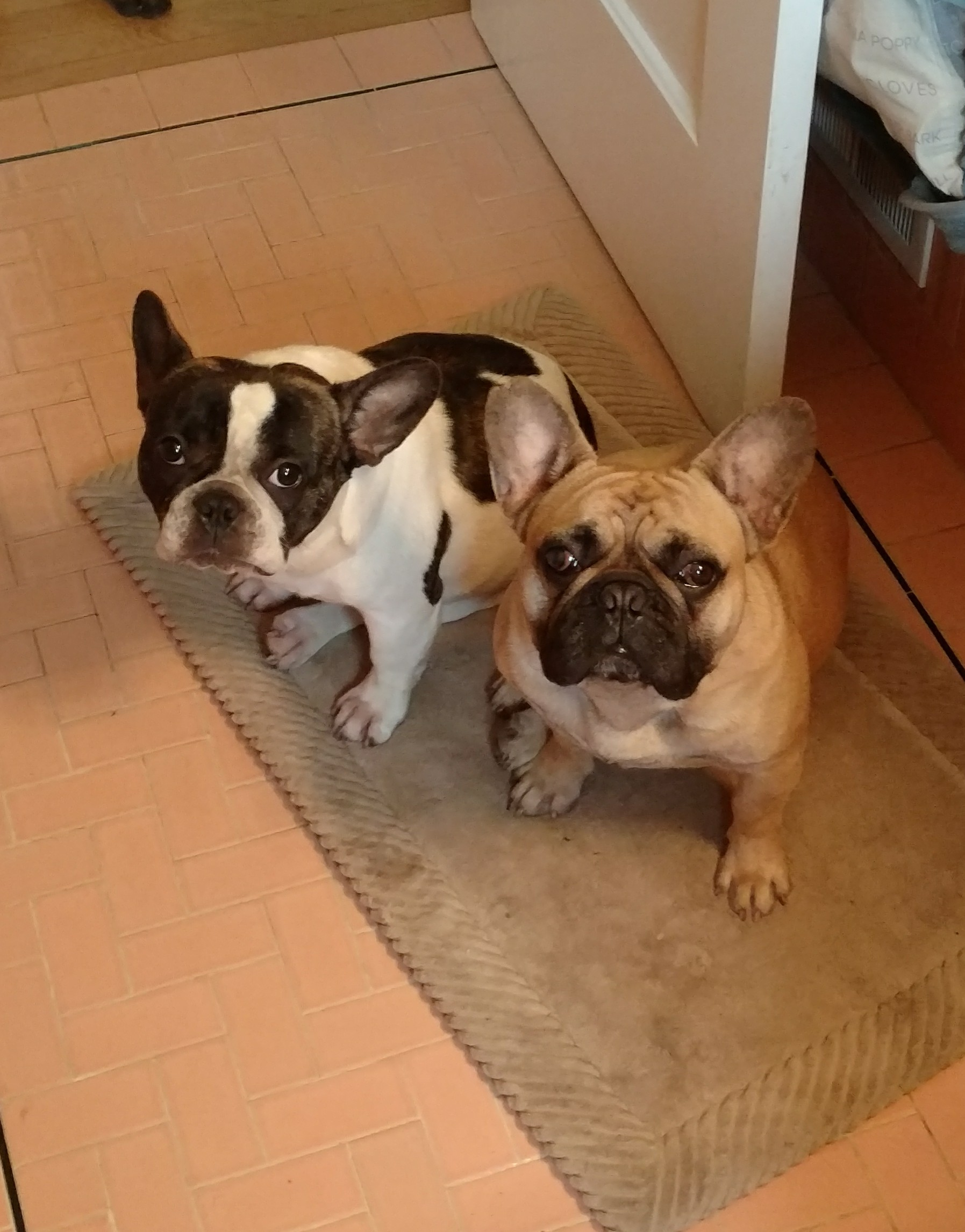 French Bulldogs Olive and Bruno