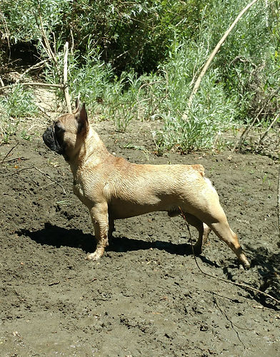 Fawn French Bulldog Stud available for stud service and with available puppies!