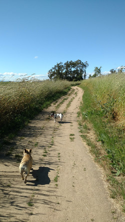 Olive and Bruno on a walk in Laguna De Santa Rosa, CA.